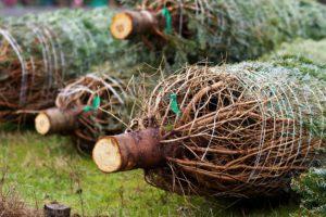 christmas-trees-235367_1920